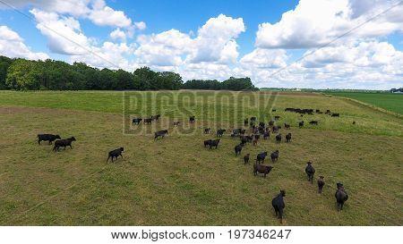 Cattle In Open Field