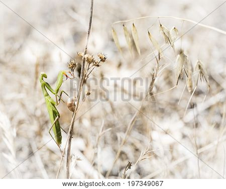 green praying Mantis on a dry branch in summer