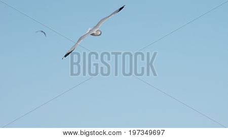 seagull soaring on blue sky looking straight into camera