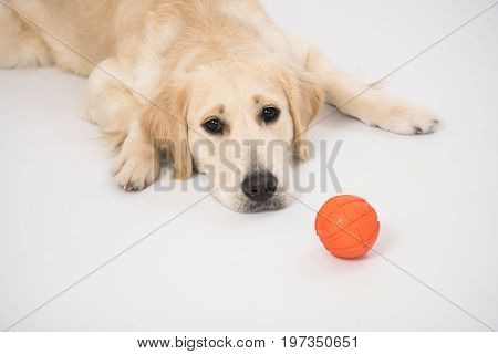 Happy and smiling Golden Retriever purebred dog laying on dog bed over white with ball toy