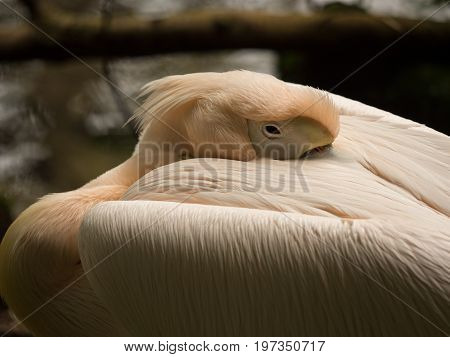 sleeping orange pelican close up, animal portrait