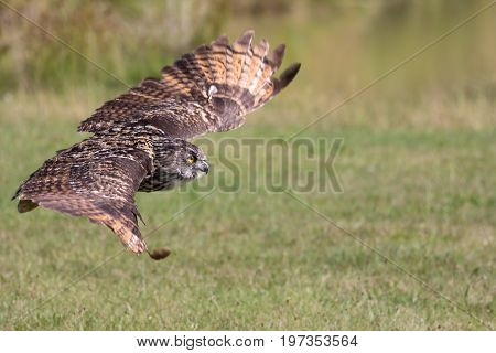 Silent hunter. Eagle owl gliding at ground level. Bird of prey stealth hunting over grassland.
