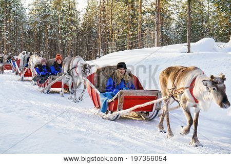 Reindeer Sledding Safari And People Forest Lapland Northern Finland