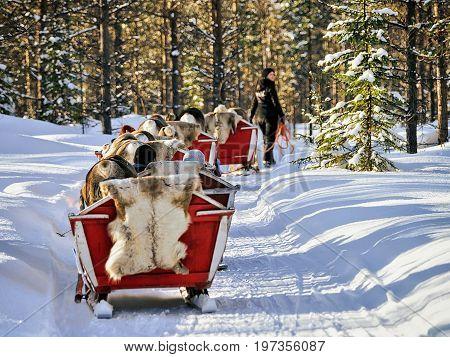 Reindeer Sledding Caravan Safari With People Forest Lapland Northern Finland