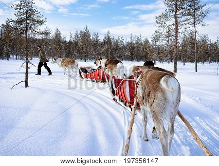 Reindeer Sled Caravan Safari And People Forest Lapland Northern Finland