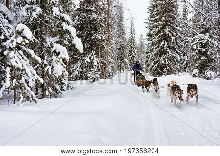 People On Husky Dogs Sleigh In Winter Forest Northern Finland