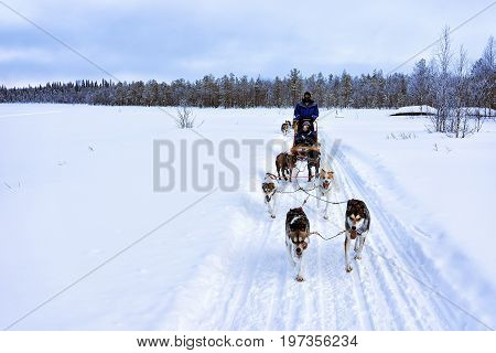 People On Husky Dogs Sledge Winter Lake Lapland Northern Finland