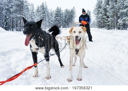 Man On Husky Dogs Sleigh In Winter Forest Northern Finland