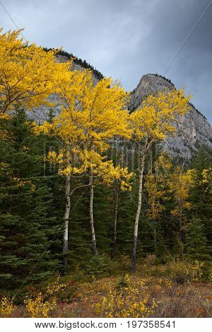 Golden Aspen trees in Banff National Park, Alberta, Canada on an overcast autumn day