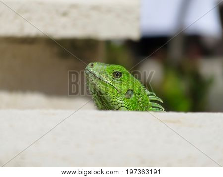 Close up of a green iguana (Iguana iguana), also known as the American iguana, isolated with its mouth closed.
