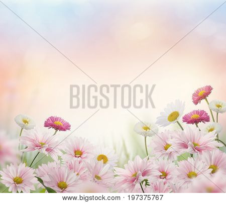 Pink and white flowers in the garden