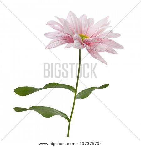 Pink daisy flower blossom isolated on white background