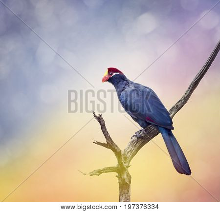 Ross's Turaco perching on an old tree