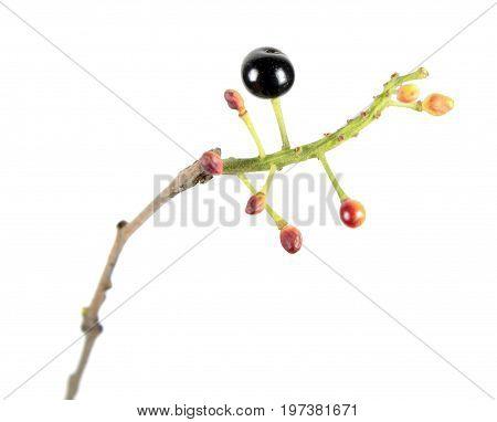 Black berries of Amur chokecherry (Prunus maackii) isolated on white background