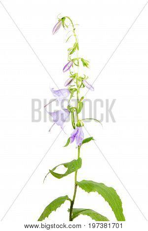 Giant bellflower (Campanula latifolia) isolated on white background