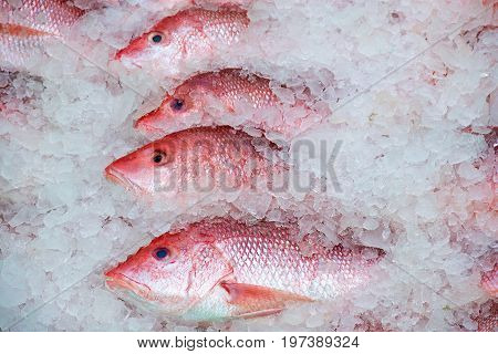 Gulf of Mexico red snapper catch in ice