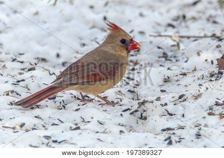 Female cardinal feeding on sunflower seeds in winter