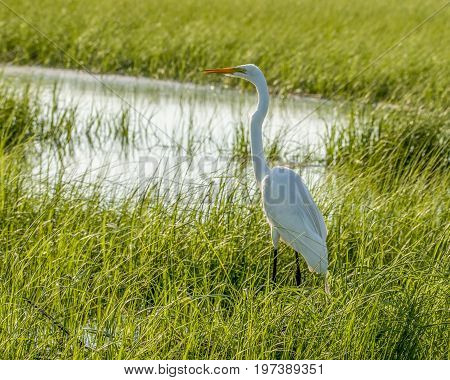 Great white heron in the wetlands foraging for food