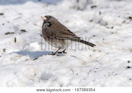 Dark Eyed Junco in the snow feeding on seeds