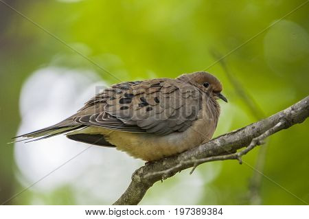 Mourning dove perched on a branch with ruffled feathers