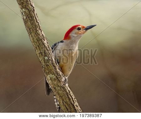 Male red bellied woodpecker perched on a branch
