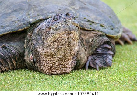 Close up portrait of large snapping turtle