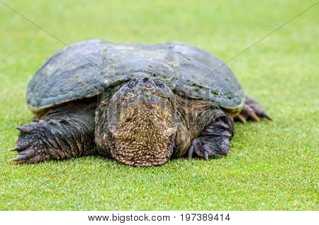 Large snapping turtle crossing grassy area to water