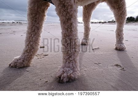 View of poodle dog legs while on walk walkies on the beach