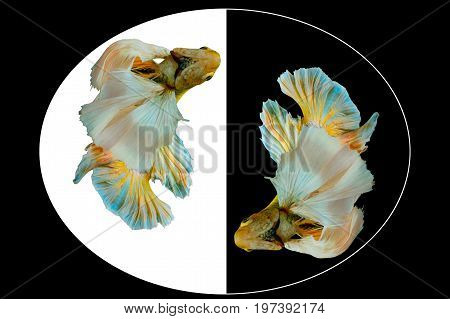Capture the moving moment of yellow betta fish fighting fish Siamese fighting fish isolated on black and whit background Pla-kad biting fish Thai