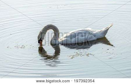 Swan In Tokyo Imperial Palace