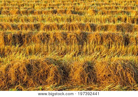 Golden Color Rice Plant In Rice Fields After Harvest