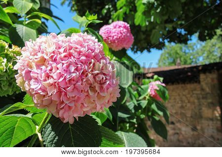 Flowering pink hydrangea against brick wall and sky background