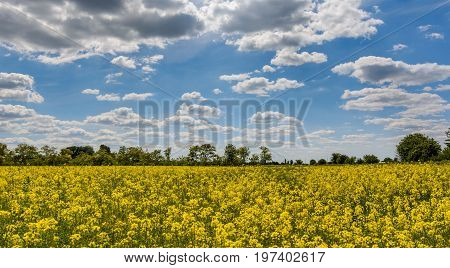 Canola field closeup with a blurred blue sky as background