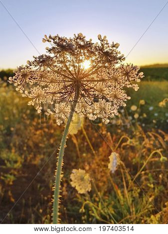 Queen Anne's lace in field at golden sunset