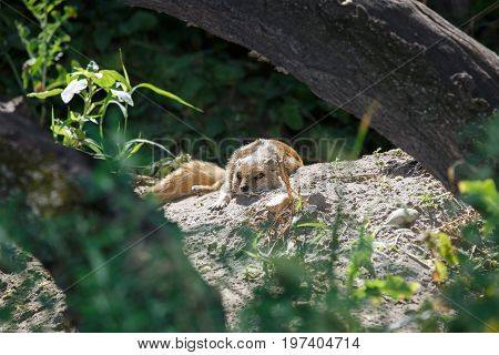 Yellow mongoose Cynictis penicillata lying close up