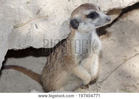 Cute Little Meerkat