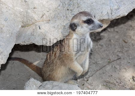 Wild Suricate Standing Near The Stone