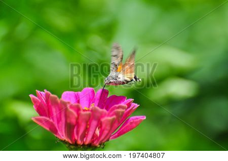 Hummingbird Hawk Moth (Macroglossum stellatarum) sucking nectar from wildflower. Hummingbird hovering over pink flowers