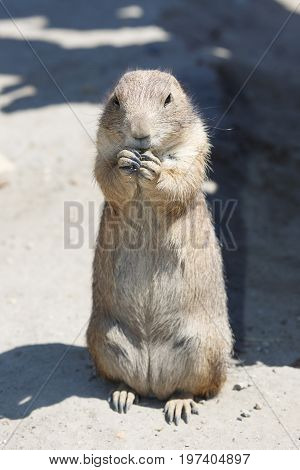 Cute Black-tailed Prairie Dog Stands On The Sand
