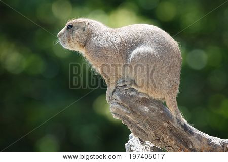 Cute Prairie Dog On A Background Of Green Foliage
