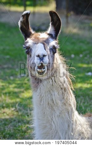 Closeup of Llama with mouth open and appears to be talking