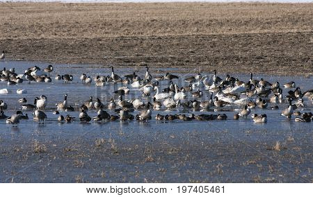 Birds rest in a pond during its migration. Ducks, whooper swan and Canada geese.