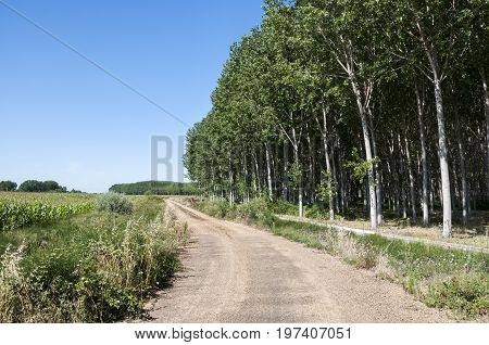 Poplar groves and cornfields in the plain of the River Esla, in Leon Province, Spain