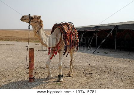 Saddled dominant male camel dromedary on a camel farm