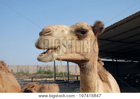 Camels eat hay on a camel farm in a Bedouin settlement