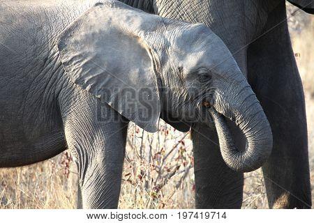 Little African baby elephant walking along the Savannah.