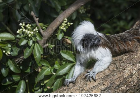 Cotton Top Tamarin Saguinus Oedipus Lain On Tree Branch In Sunlight