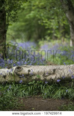 Stunning Shallow Depth Of Field Bluebell Forest Landscape Image