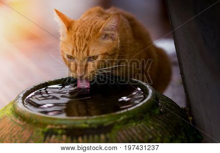 Dark brown cat is bending his tongue licking in the water to drink water, quenching thirst, quenching hot, like people who have to drink water to cure thirst and also for good health as well.