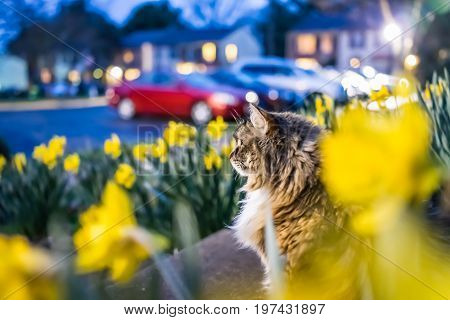 Many Yellow Daffodils With Green Leaves During Blue Hour And Maine Coon Cat Watching On Front Porch